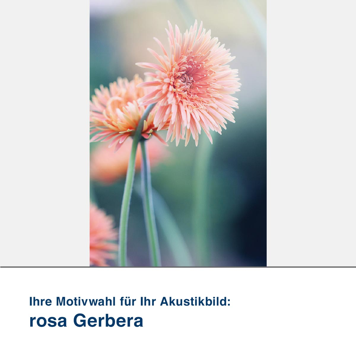 Akustikbild Motiv rosa Gerbera